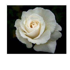 rose blanche fleuristefoliole.com